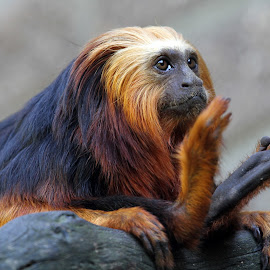 Lion Tamarin by Edwin Butter - Animals Other Mammals ( hairy, lion, sitting, relax, relaxed, tamarin, relaxing, monkey,  )