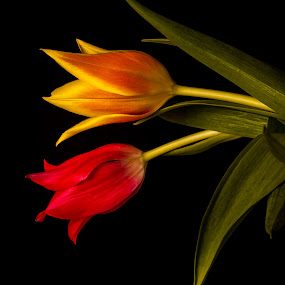 Tulips by HB Jansson - Flowers Flower Arangements ( sweden, lund, red, plants, yellow, tulips, flowers )