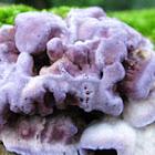 Silverleaf Fungus