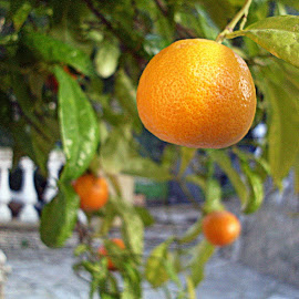 Tangeriniada by Wickie Tickie - Nature Up Close Gardens & Produce ( #orange, #tangerine, #nature, #closeup, #fruits, renewal, green, trees, forests, nature, natural, scenic, relaxing, meditation, the mood factory, mood, emotions, jade, revive, inspirational, earthly )