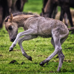 Very young Foal by Friedhelm Peters - Animals Horses ( tiere, pferde, merfelder wildpferde, münsterland )