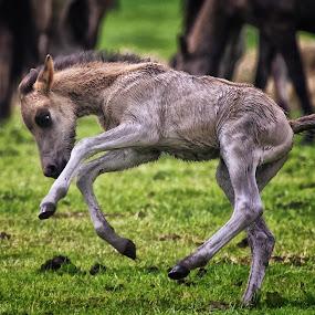 Very young Foal by Friedhelm Peters - Animals Horses ( tiere, pferde, merfelder wildpferde, münsterland )