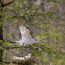 Hold on by Zeralda La Grange - Digital Art Animals ( #nature, #heron, #trees, #animals, #birds, #spring, #nesting )