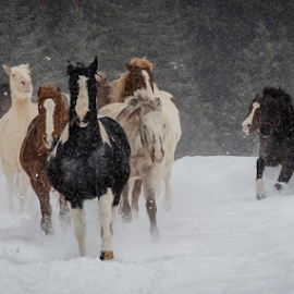 Catching Up by John Klingel - Animals Horses ( horses, snow, charging )