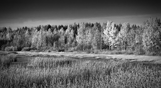 svartvit skog