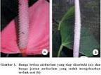 Gbr.1. Bunga betina anthurium siap diserbuki(a)& bunga anthurium jantan  sudah mengeluarkan serbuk sari(b)