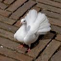 White Fantail Dove