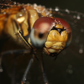 Attitude Prob.. ! by Gokul Rajenan - Animals Insects & Spiders ( eyes dragonfly  closeup nature )