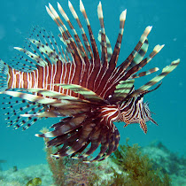 The Lionfish Caribbean Migration Map