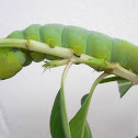 Oleander Hawk-moth caterpillar