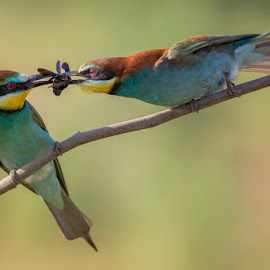 the gift by Claudio Cavalensi - Animals Birds ( love, bird, gruccione, wildlife, beeeater )