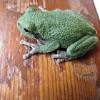 Copes Gray Treefrog