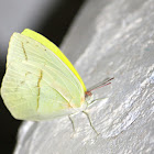 Straight-lined Sulphur