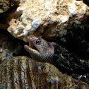 Turkey Moray