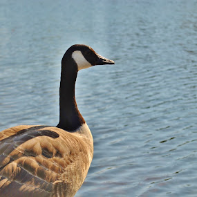 Lakeside Goose by Lily Fletcher - Animals Birds ( water, peaceful, summer, lake, goose,  )