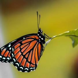 butterfly  by Guntur GW - Animals Sea Creatures