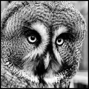 Ook wijs by Etienne Chalmet - Black & White Animals ( animals, black and white, birds, owls,  )