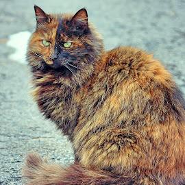 Fern by Sue Delia - Animals - Cats Portraits ( calico, cat,  )