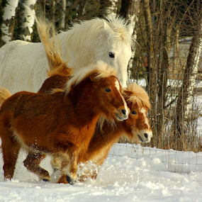 Yee Haa!! by Giselle Pierce - Animals Horses ( geldings, winter, horses, miniature horses, snow, running,  )