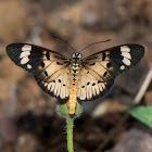 White-barred Acraea