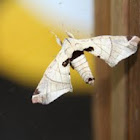 Silkworm Moth or Lappet Moth