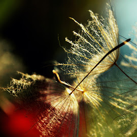 by Chandra Whitfield - Nature Up Close Other plants ( nature, goats beard, seed, seeds, light, photography, sun )