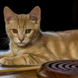 Relaxing by Christopher Fenning - Animals - Cats Portraits ( relaxing cat, cat profile, kitten, cat, ginger kitten, cat portrait, sandy cat, relaxing kitten, sandy kitten, kitten relaxing, ginger cat )