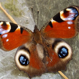 Beautiful butterfly  by Linda Macdonald - Animals Insects & Spiders