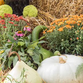 Plentiful Bounty by Sherry Judd - Nature Up Close Gardens & Produce ( old washington, pumpkins, nature's bounty, gourds, flowers )