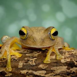 Hello by Kurito Afsheen - Animals Amphibians ( canon, animals, macro photography, indonesia, tree frog, frogs )