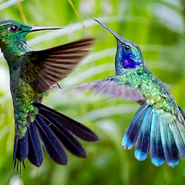 Amazing Green Violet Ear Hummers' Love Mate Dance by Leslie Reagan - Animals Birds ( nature, hummers, mating, birds, hummingbirds,  )