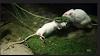 Tikus Putih yg menolong Temannya dari mangsa ular (Gambar 3)