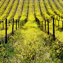 Vineyard by Katarzyna Malinowska - Landscapes Prairies, Meadows & Fields ( vineyard, yellow, brunello.montalcino )