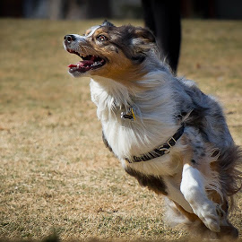 Aussie Delight by Ron Meyers - Animals - Dogs Running