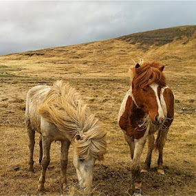 Two Icelandic horses during winter by Kristján Karlsson - Animals Horses ( icelandic, horses )