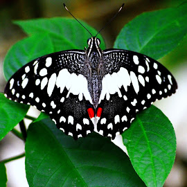 BUtterfly by Kamalaprabhu Rathinasamy - Animals Insects & Spiders ( #malaysia #butterfly #lake #garden )