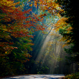 Sun Rays by Janet Lyle - Landscapes Forests ( autumn, fall, trees, sun )