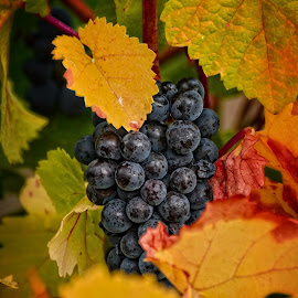 Wine by Melani Johnson - Nature Up Close Gardens & Produce ( wine, vineyard, autumn, grapes )