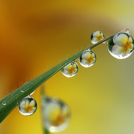 ::Dews : by Dedy Haryanto - Nature Up Close Natural Waterdrops (  )