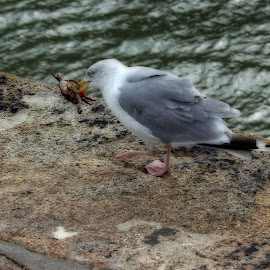 LIVE .LUNCH by Wendy Peters - Novices Only Wildlife ( nature, quayside, behavior, wildlife, seagulls, seaside, lunch, birds )