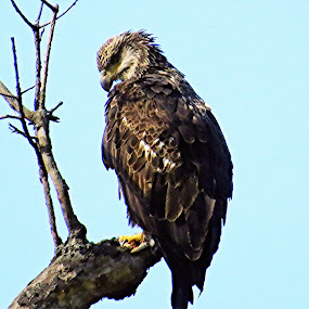 Juvenile eagle by Tracy Bumann - Animals Birds