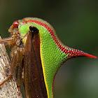 Thorn treehopper