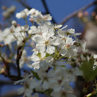 Brad Pear Blossoms