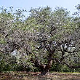 Live Oak by Cindy Dike - Nature Up Close Trees & Bushes