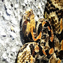 Timber Rattlesnake (Southern Variation)