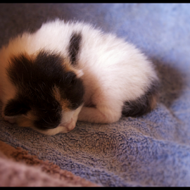 Newbie by Rhiannon Crothers - Animals - Cats Kittens ( kitten, sleeping, baby, newborn )