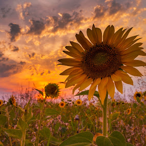 last sunflower in sunset by Cornelius D - Flowers Flowers in the Wild