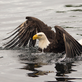 Eagle by Trevor Bond - Animals Birds ( eagle, alaska, bald eagle,  )