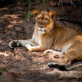 Lion in the Sunshine by Sharon Isern - Animals Lions, Tigers & Big Cats ( reclining lion, female lion )