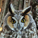 Long Eared Owl, Buho chico (Spanish) or Hibou moyen-duc (French)